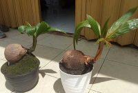bonsai kelapa