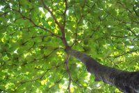 pohon ketapang