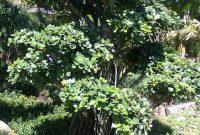 tanaman serut