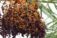 tumbuhan kurma