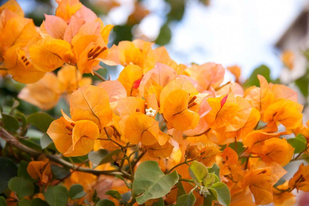 Bougainville California Gold