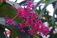 tanaman parijoto