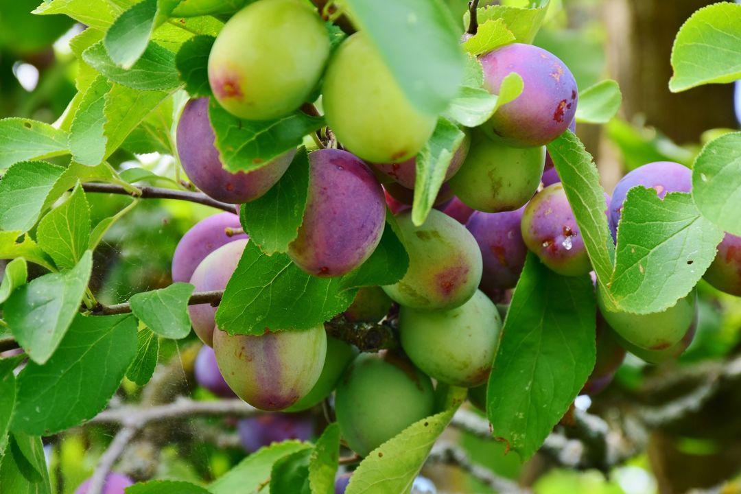 tanaman plum