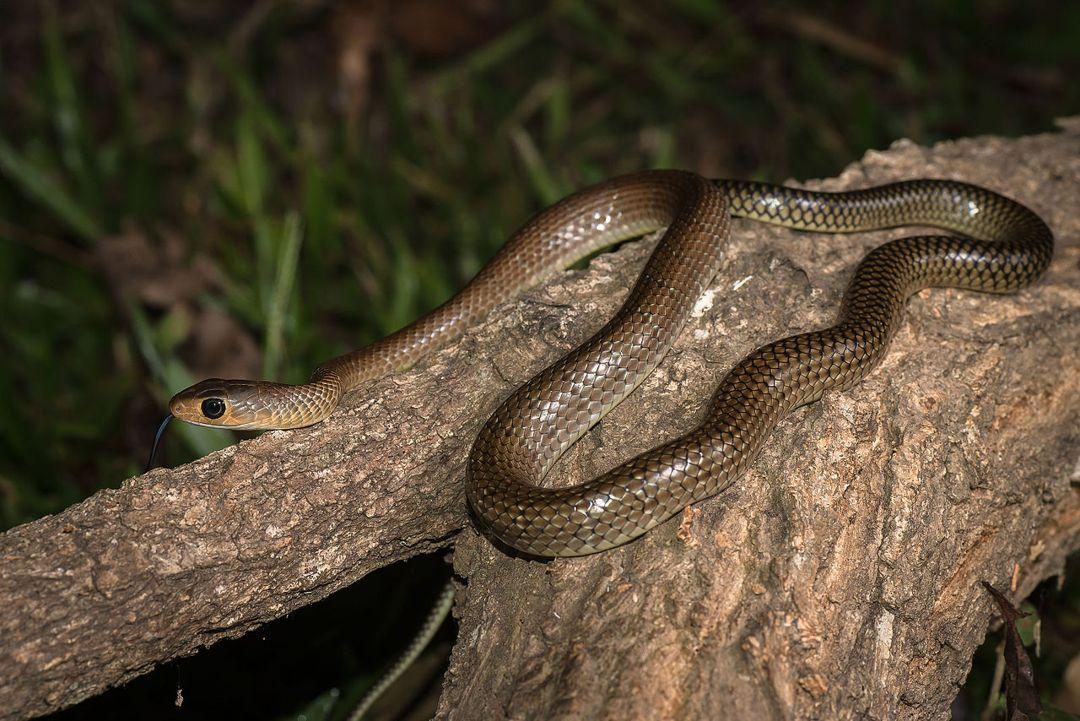 ular koros