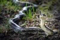 ular sawah