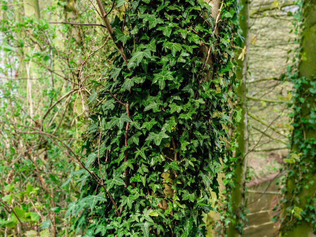 tanaman ivy