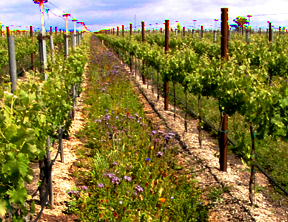 Insecta-Flora as a vineyard covercrop in California.