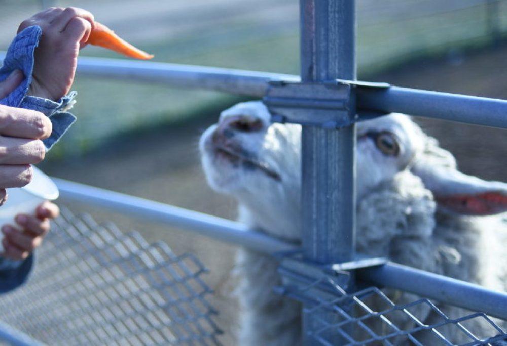 欲しがる羊さん