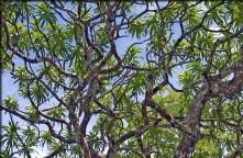 Dracaena kaweesakii - kjo pemë quhet ndryshe pema e dragoit, për shkak të morfologjisë së vet. Mund të arrijë lartësi deri në 12 metra. Është zbuluar në malet gëlqerore të Tailandës (Paul Wilkin)