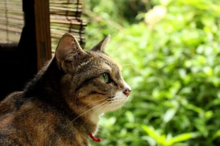 5分でわかる『吾輩は猫である』猫が人間を風刺する夏目漱石の処女小説のあらすじ、内容を解説!