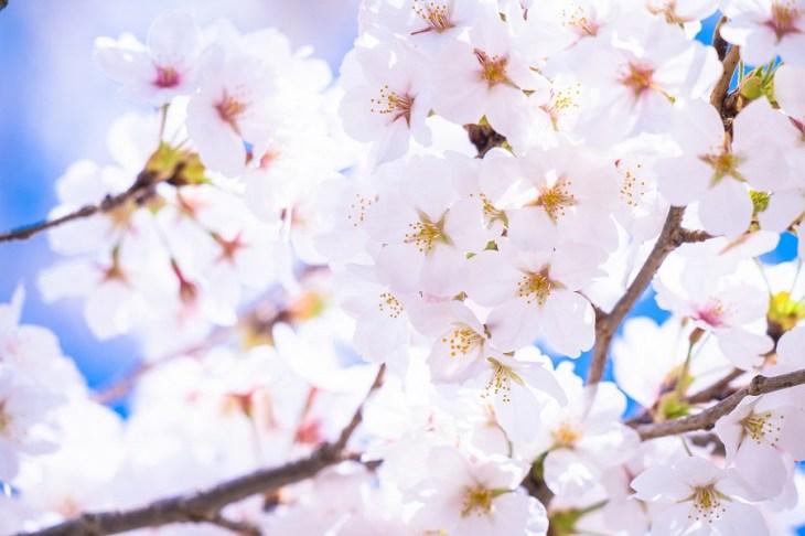 日本の国花は桜?菊?あの国の花は何?麗しき「国花」の世界 - Rinto~凛と~