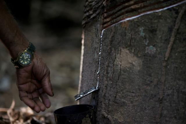 Raimundo Mendes de Barros, 71, who has worked as a rubber extractor for 57 years, cuts a Seringueira rubber tree in Chico Mendes Extraction Reserve in Xapuri, Acre state, Brazil, June 22, 2016. REUTERS/Ricardo Moraes