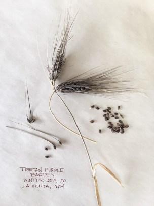 Tibetan Purple Barley
