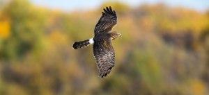 Fall Hunter of the Bosque del Apache, Photo by Ed MacKerrow
