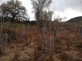 30. This is an example of how we replanted area along the bank of the Rio Grande. This area was mostly salt cedar and Russian Olive and here you can see all the bundles of native coyote willow and the cottonwoods that will eventually mature into a native bosque.