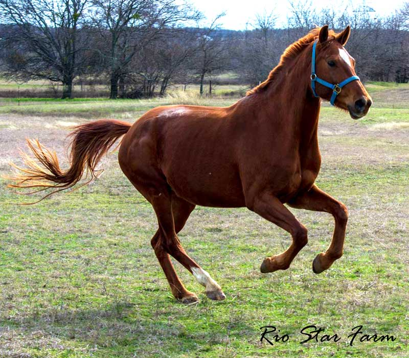 Picture of Jeselle RSF (Wolkentanz II x Freestyle)