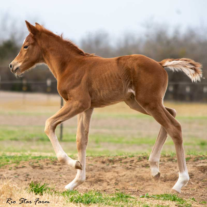 Picture of Raine (Kjento x Sir Gregory x Roemer)