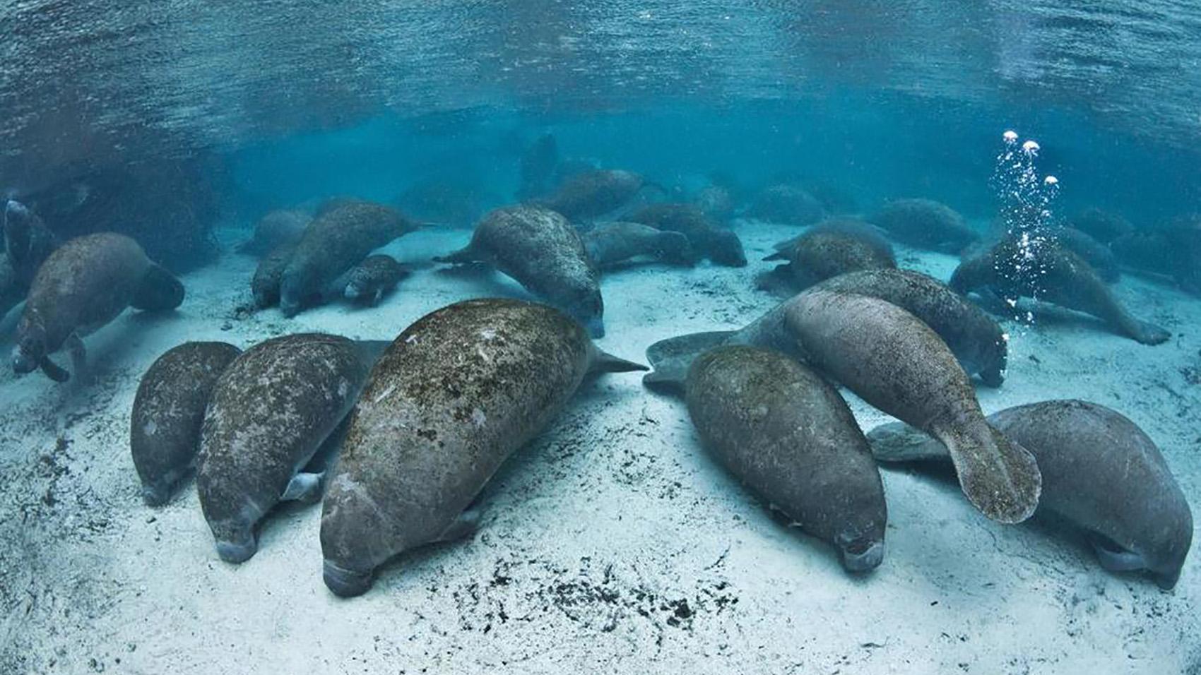 Manatees Use Farts To Swim