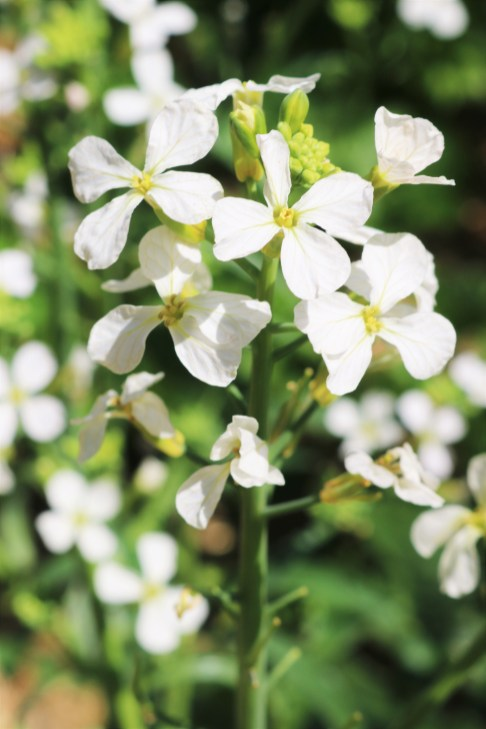 Radish flowers that I am allowing to self-seed for next year