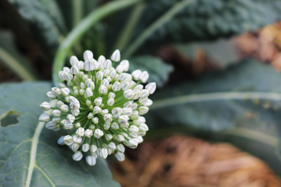 Resting on the kale, a sporadic onion flower that grew up after being missed in last year's harvest