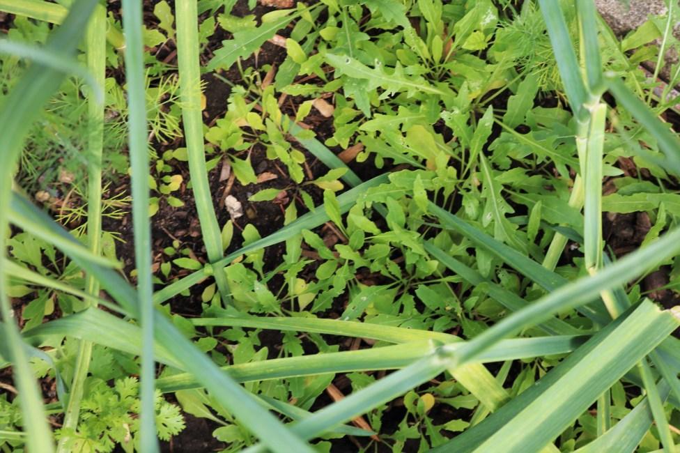 Arugula growing amid the garlic