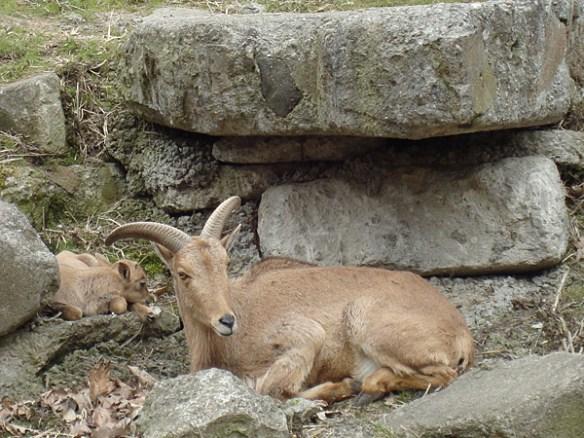 zoo-goats