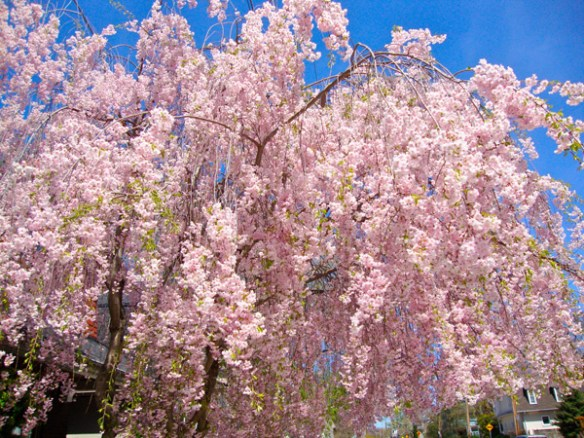 eastwood-cherry-blossoms