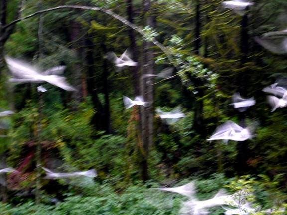 Rainforest Gulls