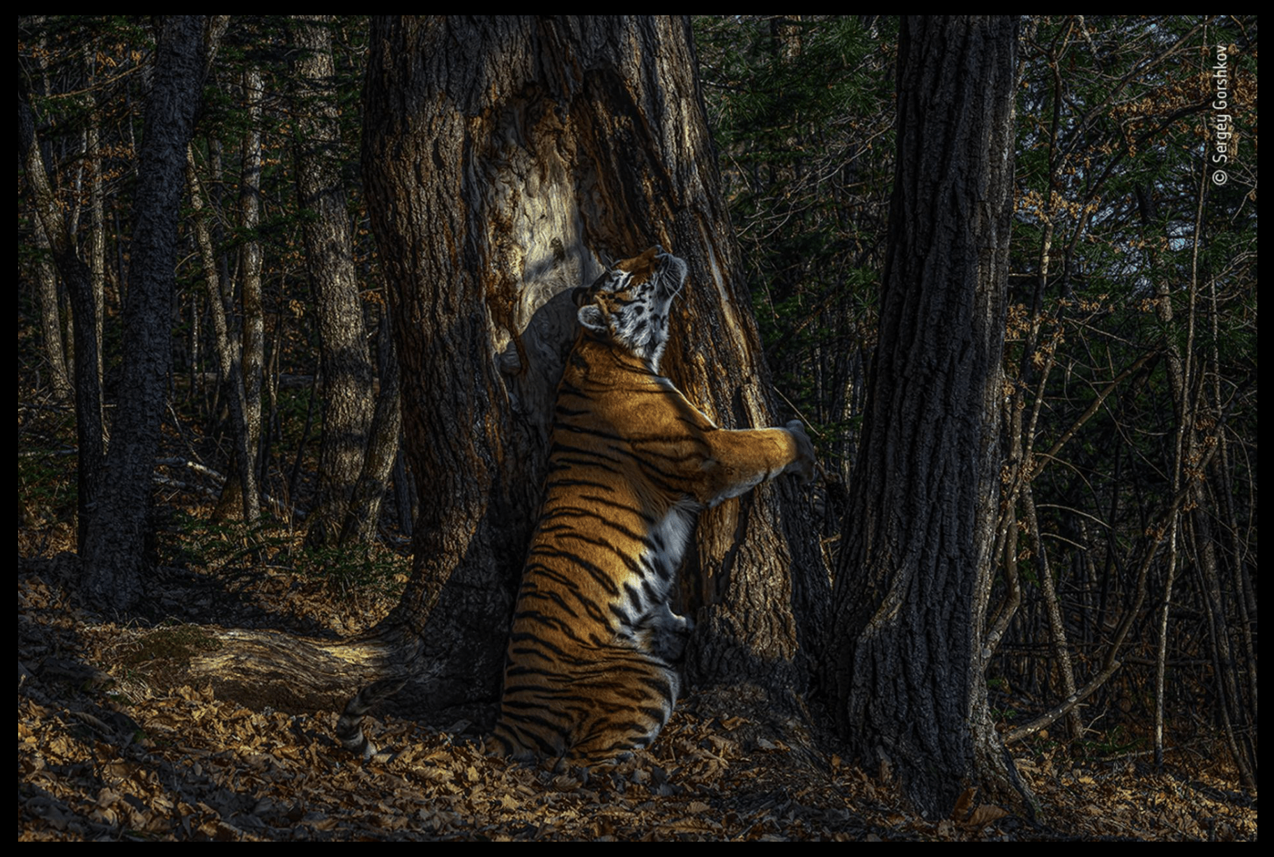 image of a tiger hugging a tree in the forest