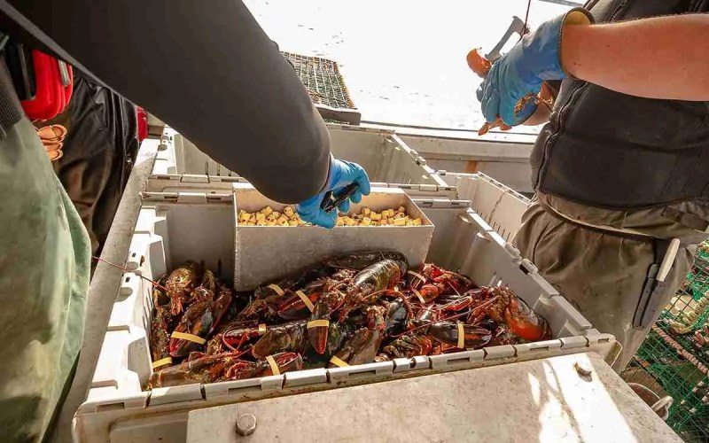 Fishers banding lobster claws.