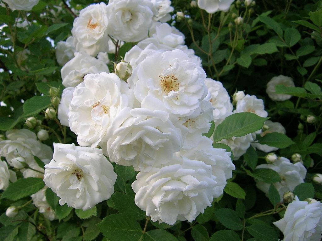 Gambar Mawar  Bunga Mawar