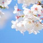 桜 幼稚園 入園 春 2年保育 4年保育