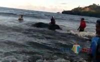 Hiu Seberat 4 Ton Terdampar di Pantai Bayem Tulungagung, Nelayan Kesulitan Evakuasi