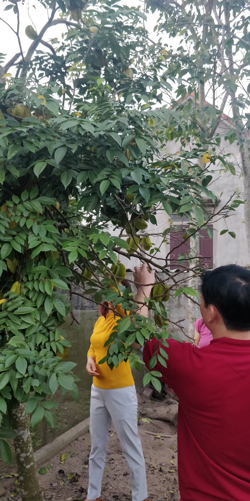 Star fruit tree at a friend's home