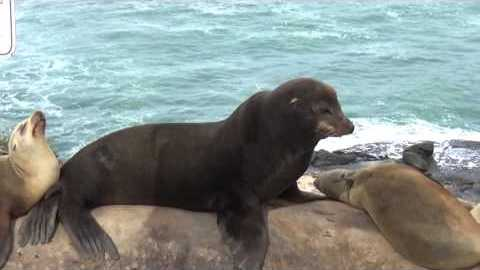 La Jolla Cove Seals, Sea Lions, and Birds