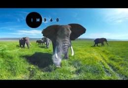 Wild Elephants in 4k