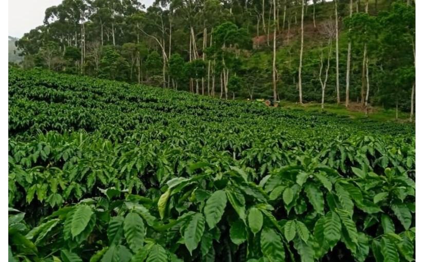 SÆSONKAFFE [efterår 2021] Nicaragua Limoncillo Red Catuai
