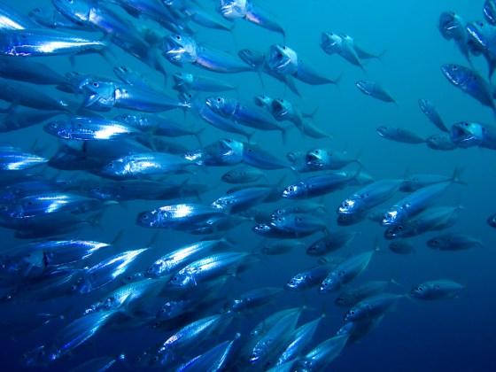 pesci-mar-adriatico-ristorante-conchiglia-doro-pineto-abruzzo