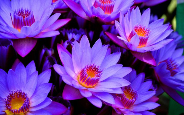 blue-lotus-flower-wallpaper
