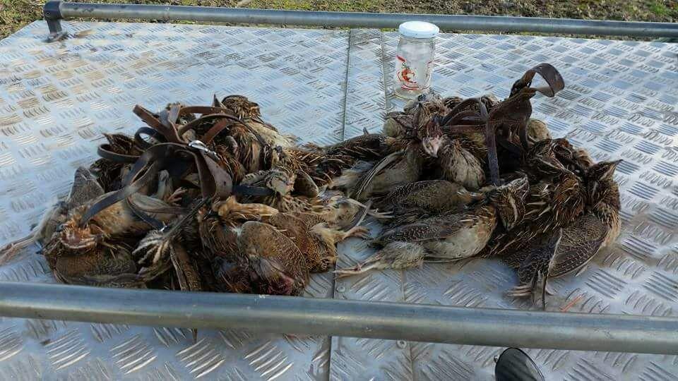 chasse aux cailles maroc