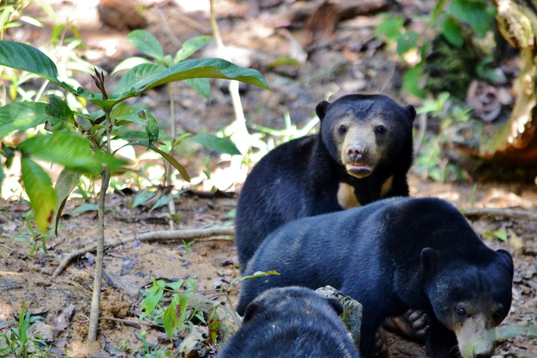 dove vedere gli orsi nel borneo malese