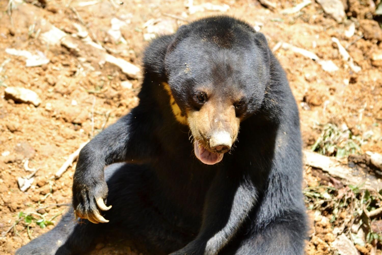 dove vedere gli orsi del borneo
