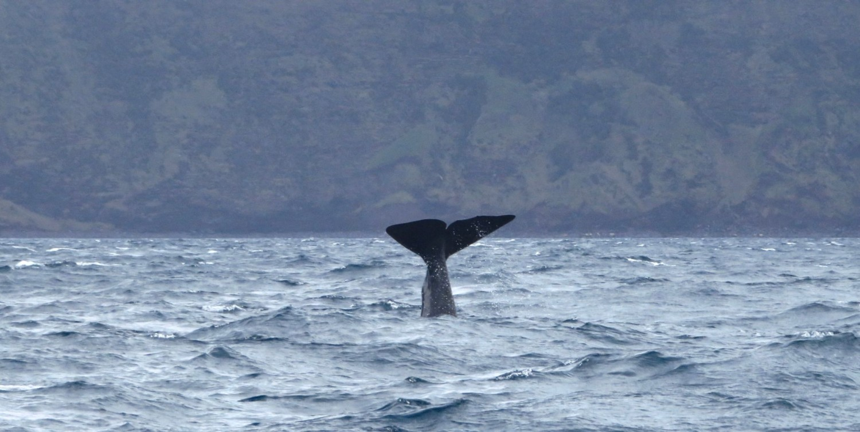 Avvistamento balene al largo dell'isola di Pico
