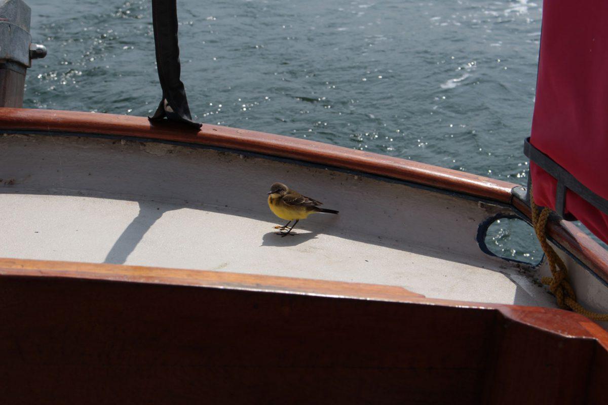 kleiner gelber Vogel auf dem Deck von RITH