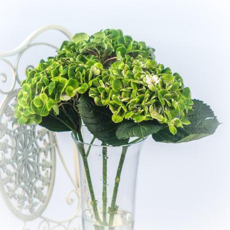 Žalios hortenzijos vazoje