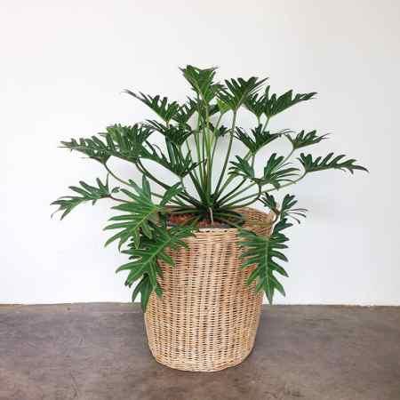 Filodendras (Philodendron xanadu)