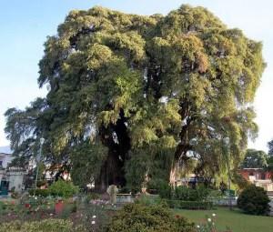 Arbor Del tule tree in Mexico