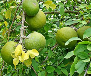 Bael-Fruit-Plant - dear to Lord Shiva