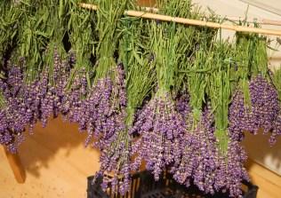 Rittergut Kleingera Lavendel zum Trocknen