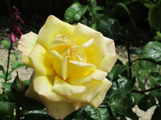 """Yellow Rose """"Peace"""" This is an old photograph. I'm hoping ......"""